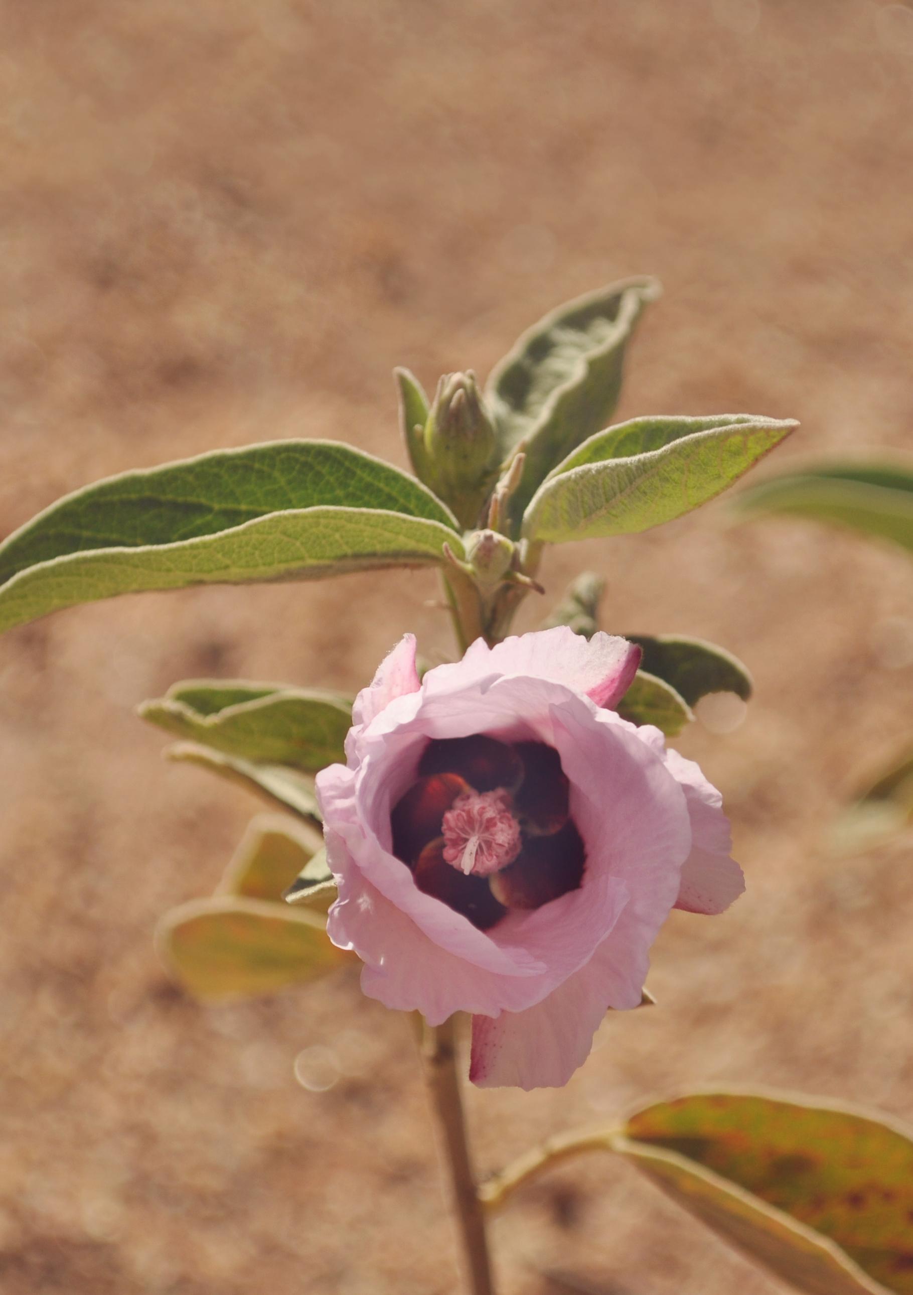 Flower near Devil's Marbles in NT
