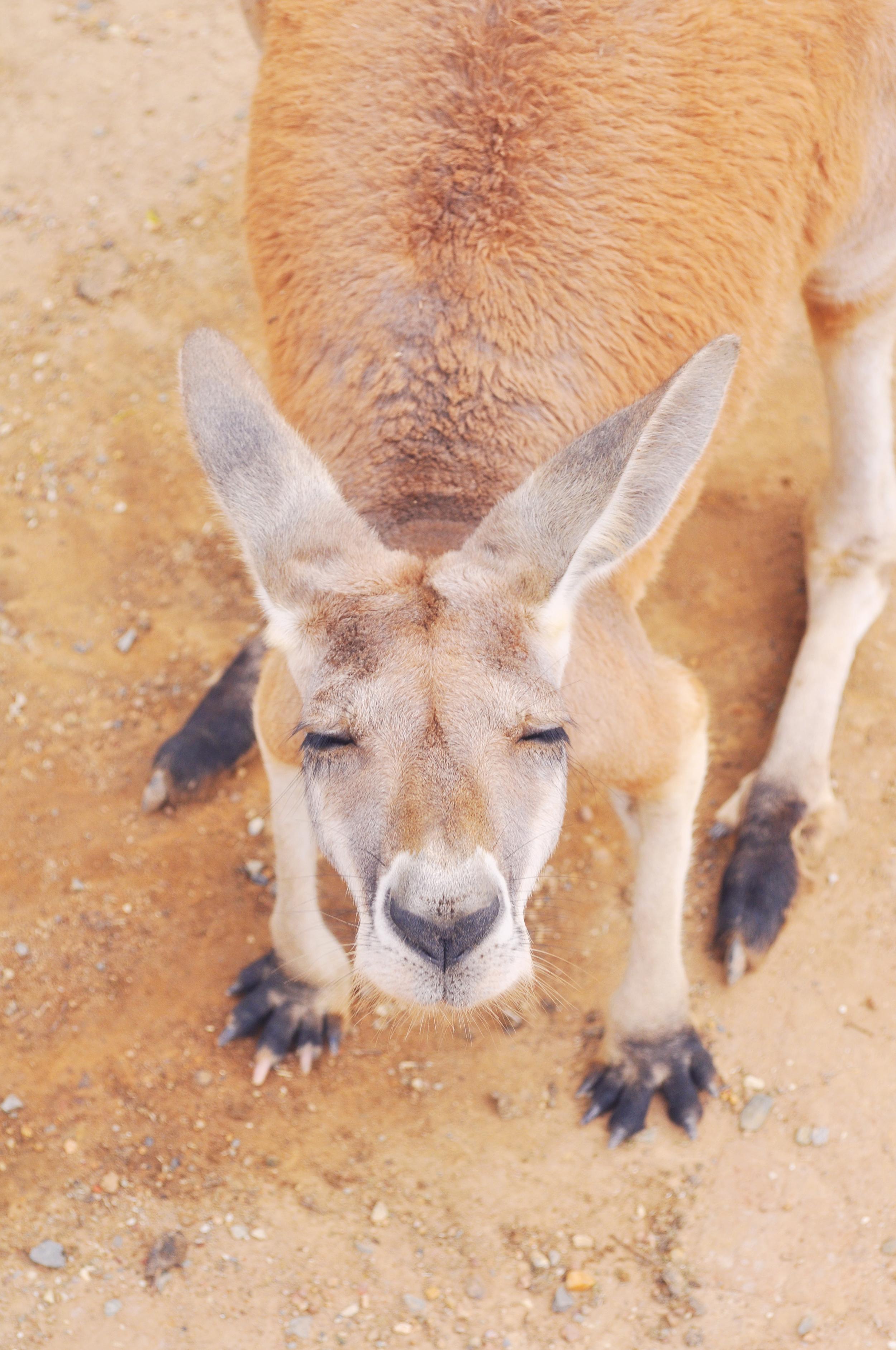 Roo in Queensland