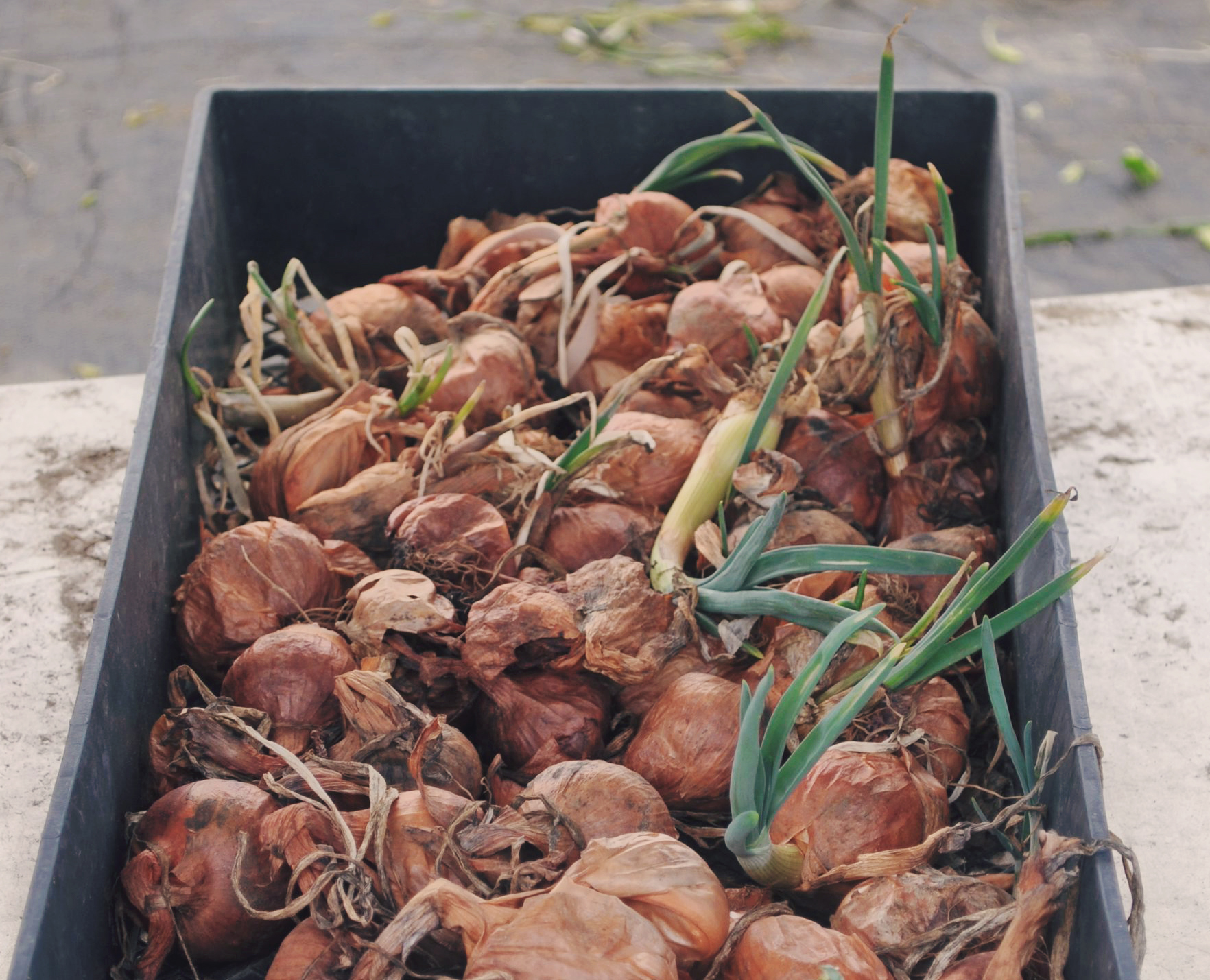 Summerfield Delight | Shallots