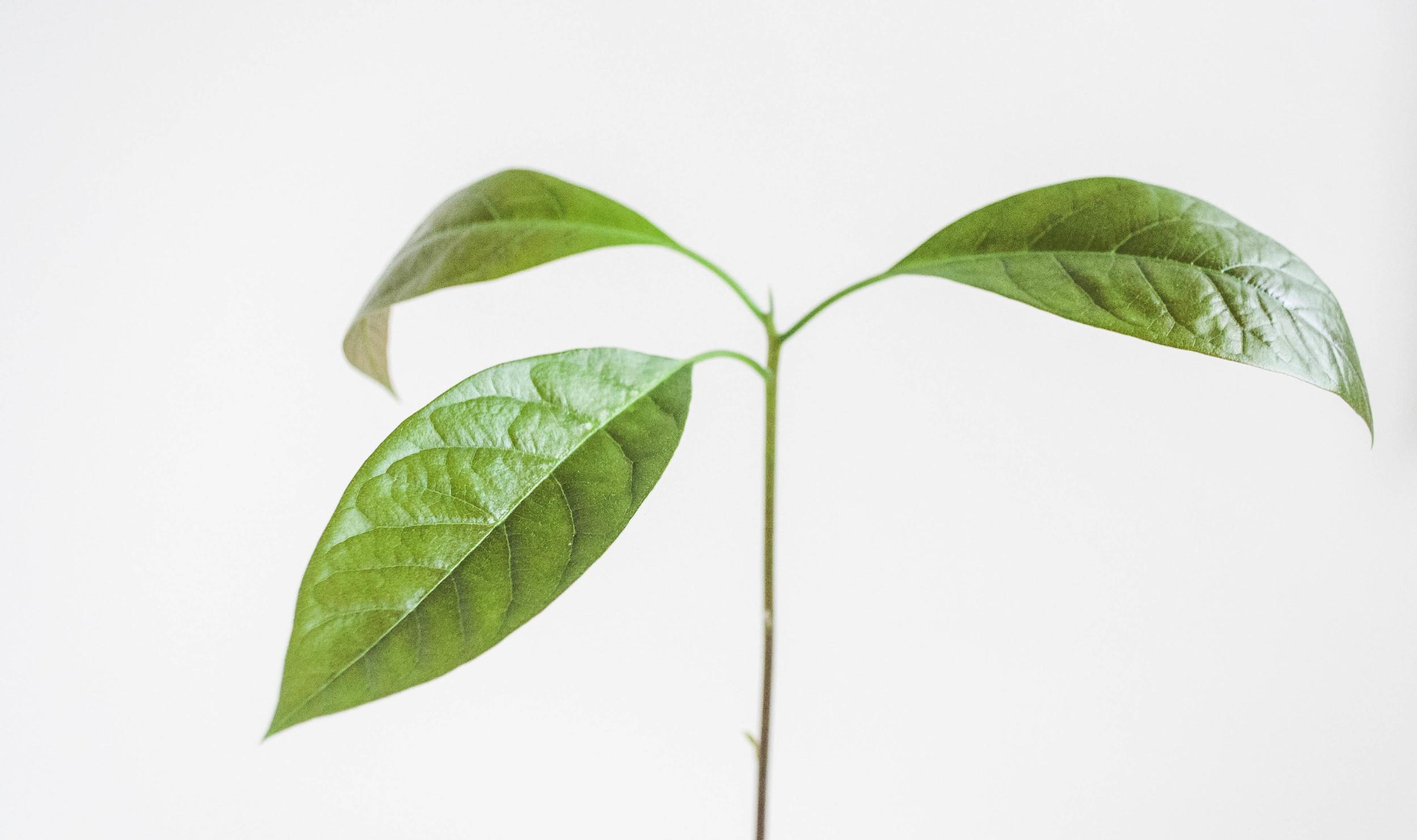 How to Grow and Avocado Tree