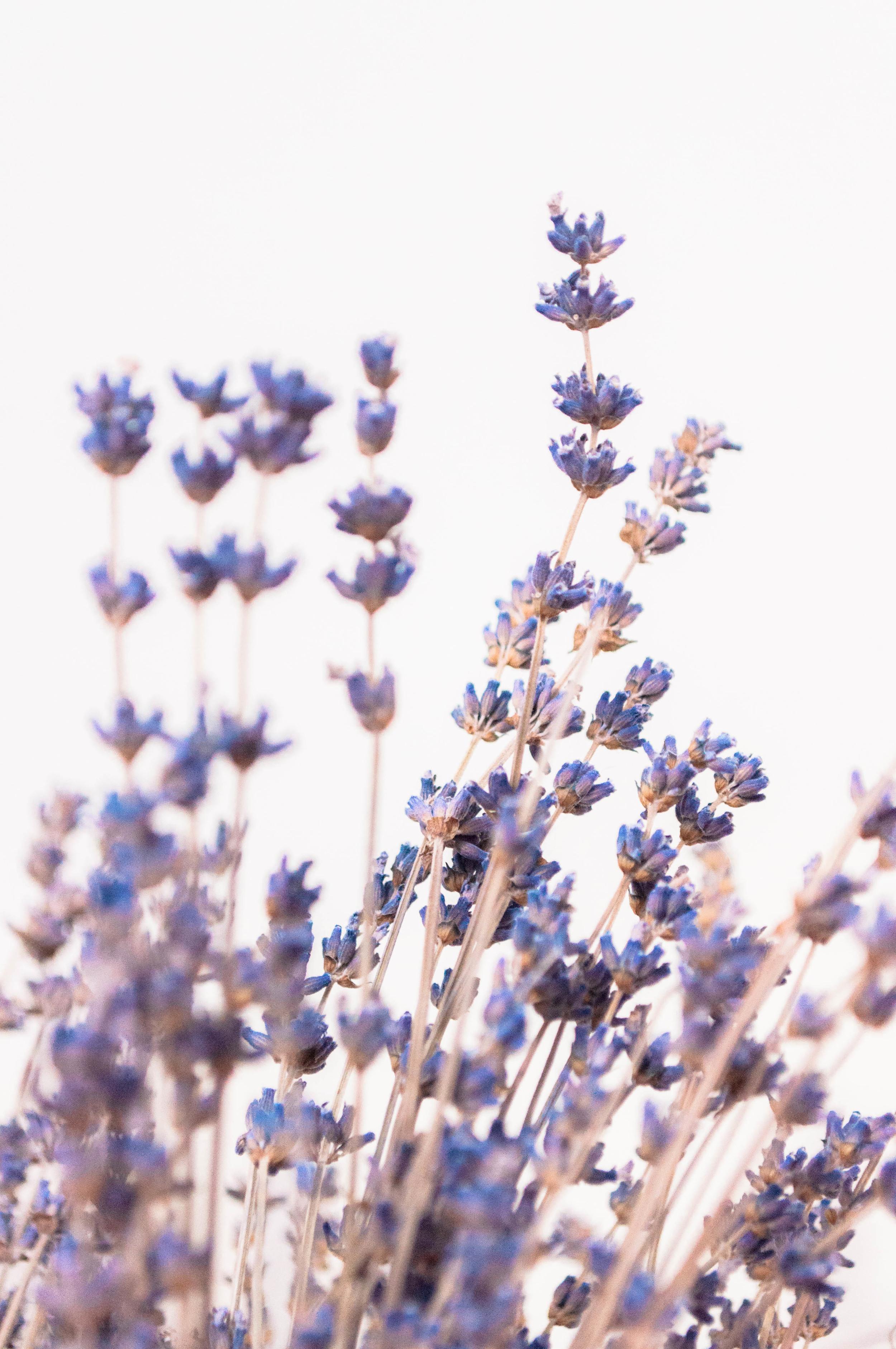 Lavender for Weekends