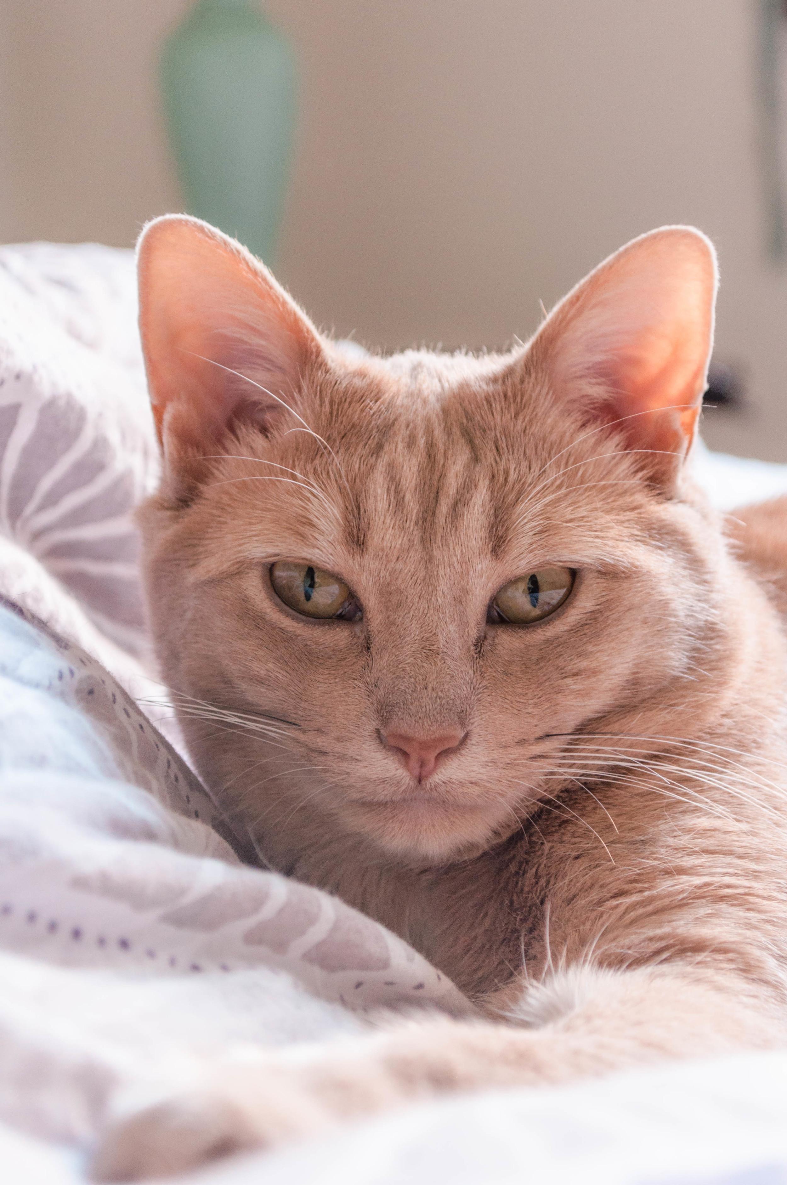 Mabel the Ocicat