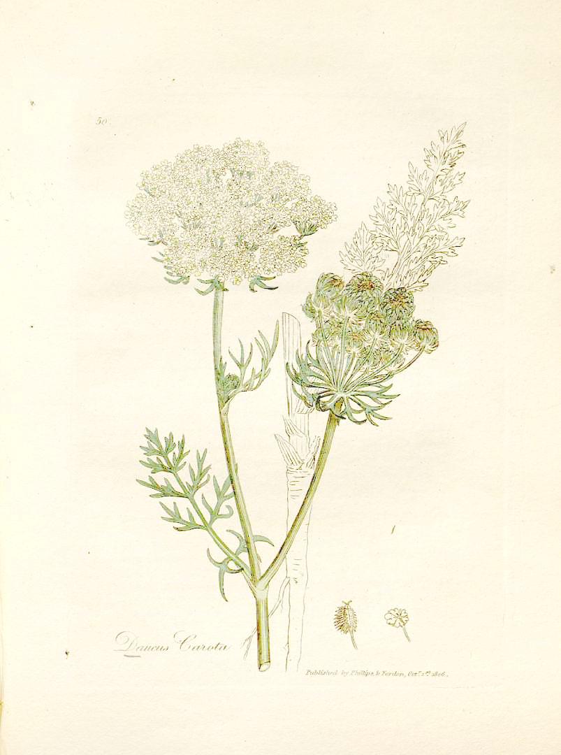Daucus Carota - Queen Anne's Lace