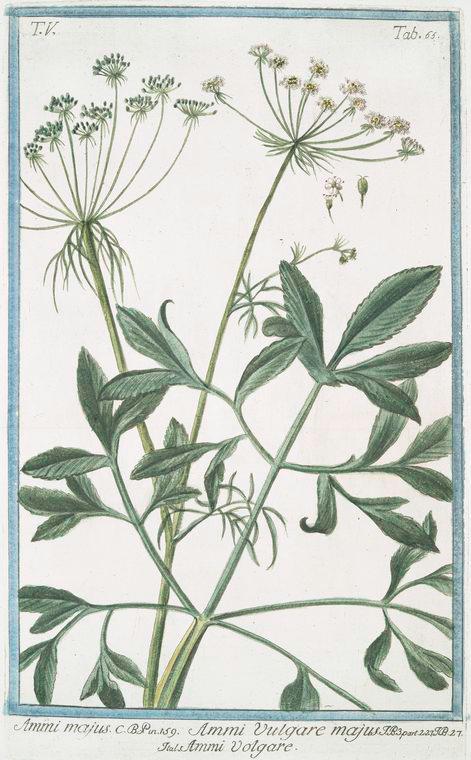 Lace Flower - Ammi majus