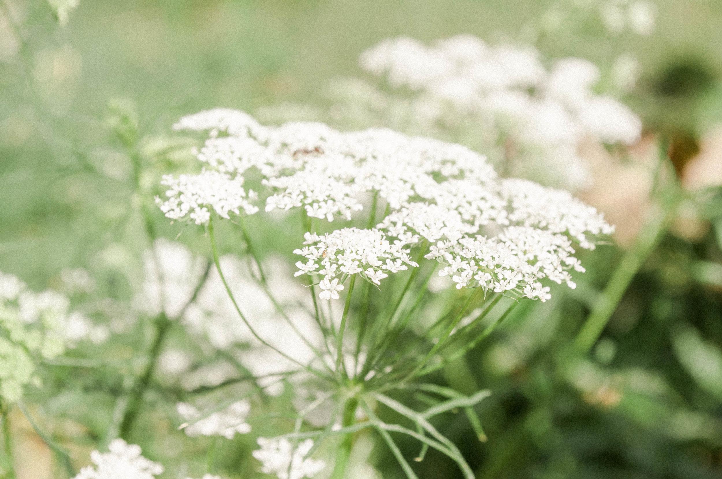 gardenaug3_queenanneslace2-5.jpg