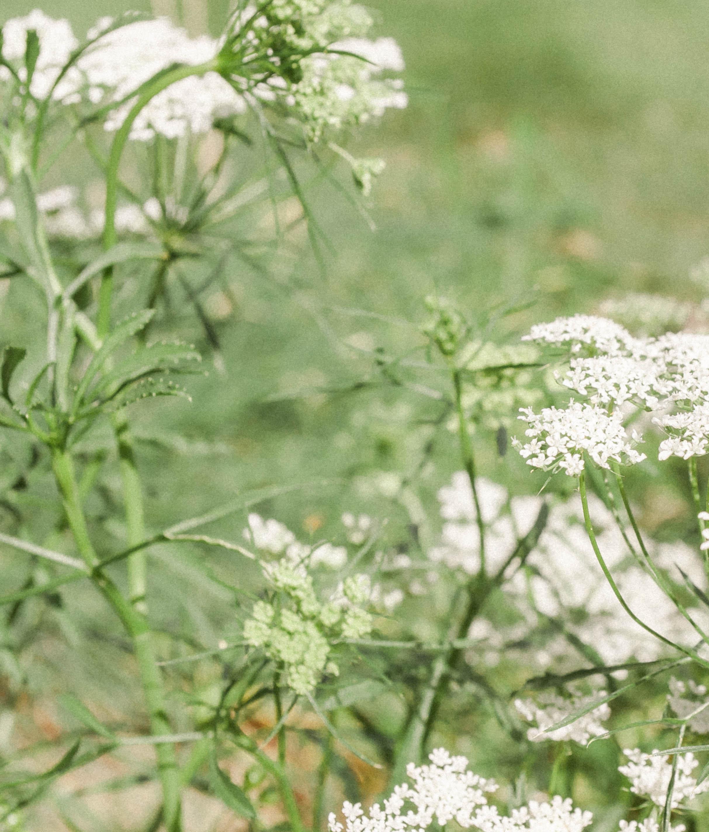 gardenaug3_queenanneslace2-3.jpg