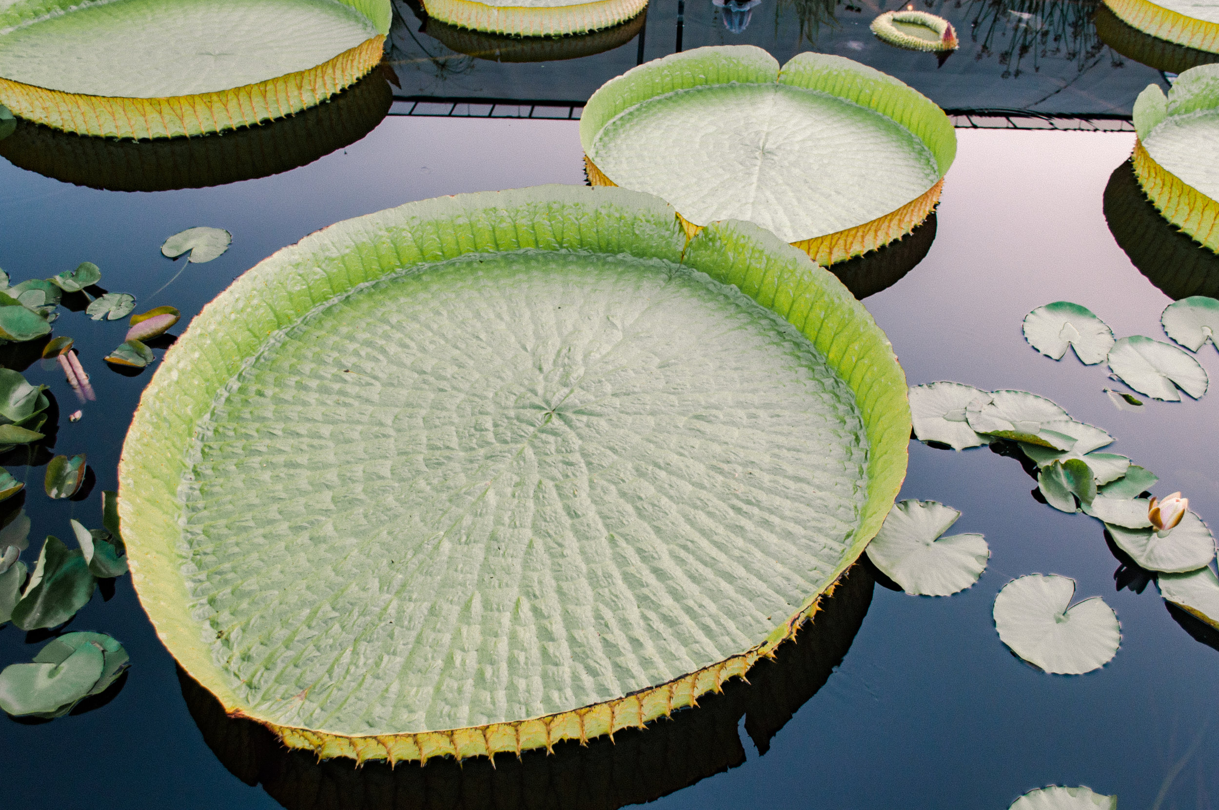 longwood_lilypads_evening-14.jpg