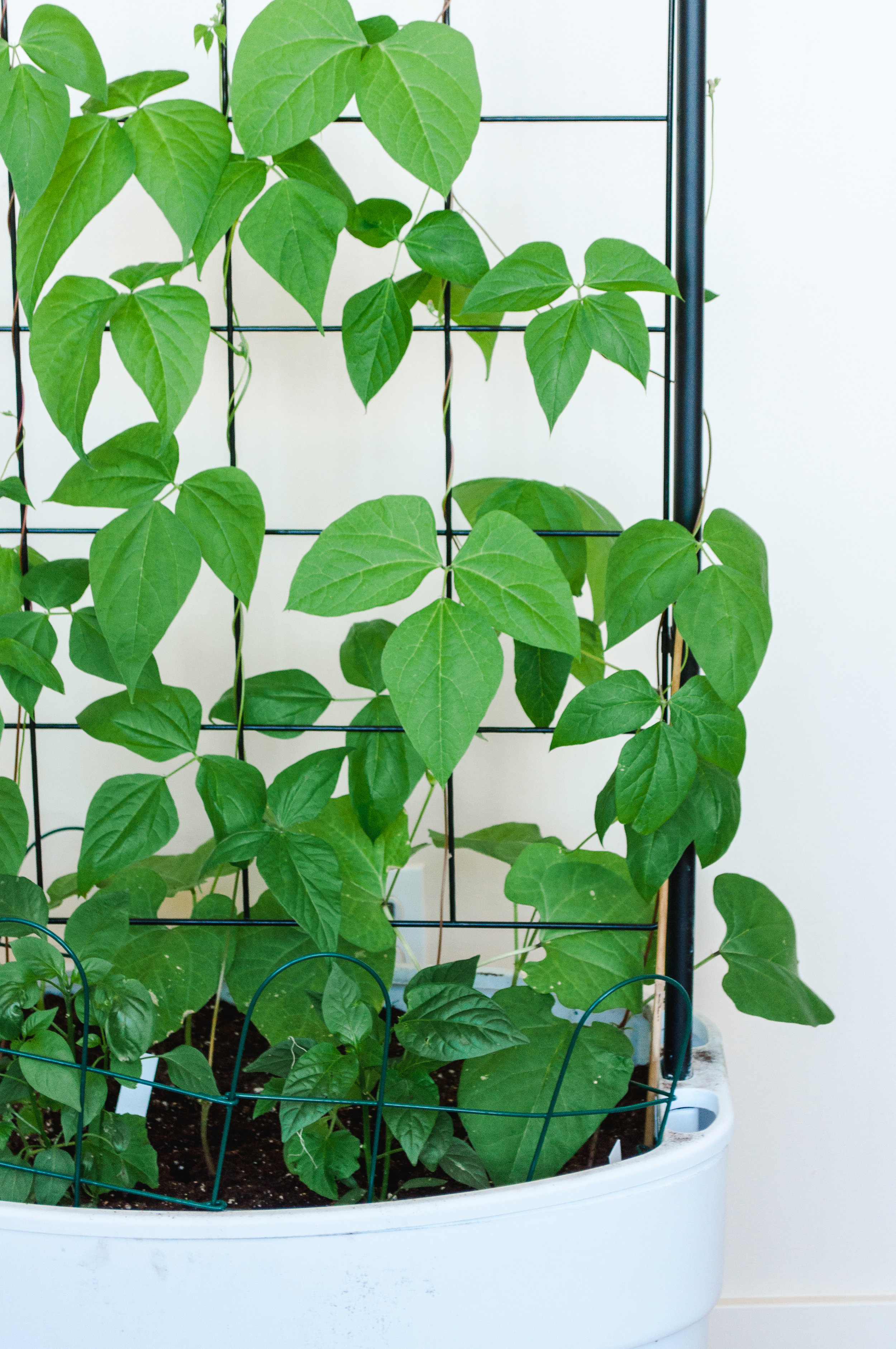 Beans and Peppers on Trellis