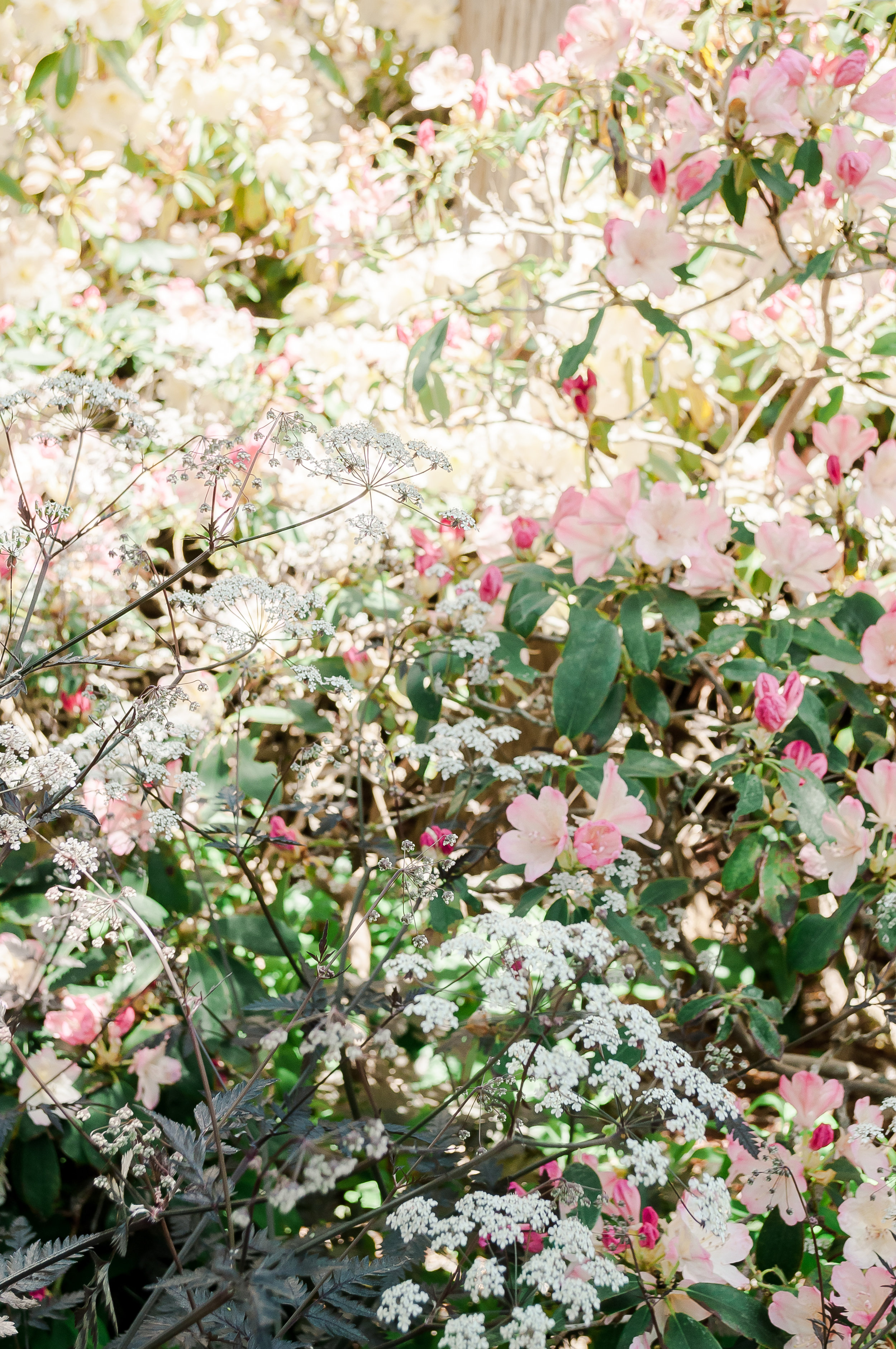 Cow Parsley mixed with Rhodedendrons