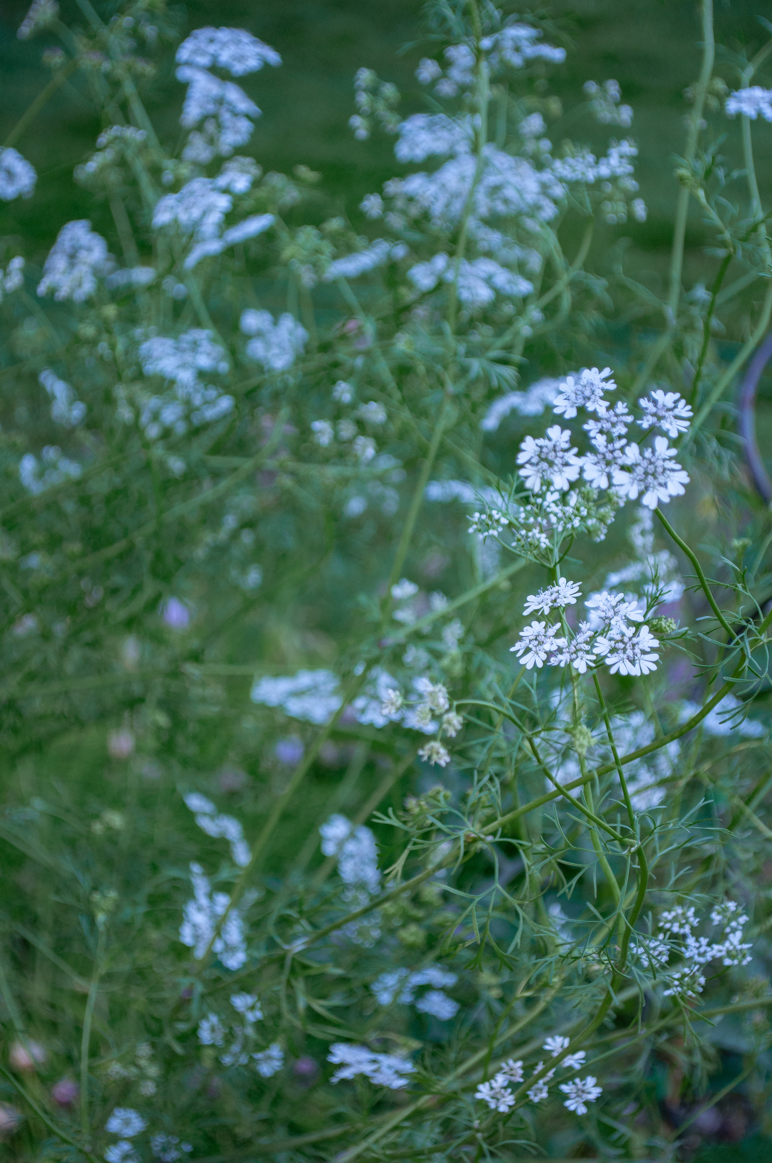 Corriander Blooms from Bolted Cilantro