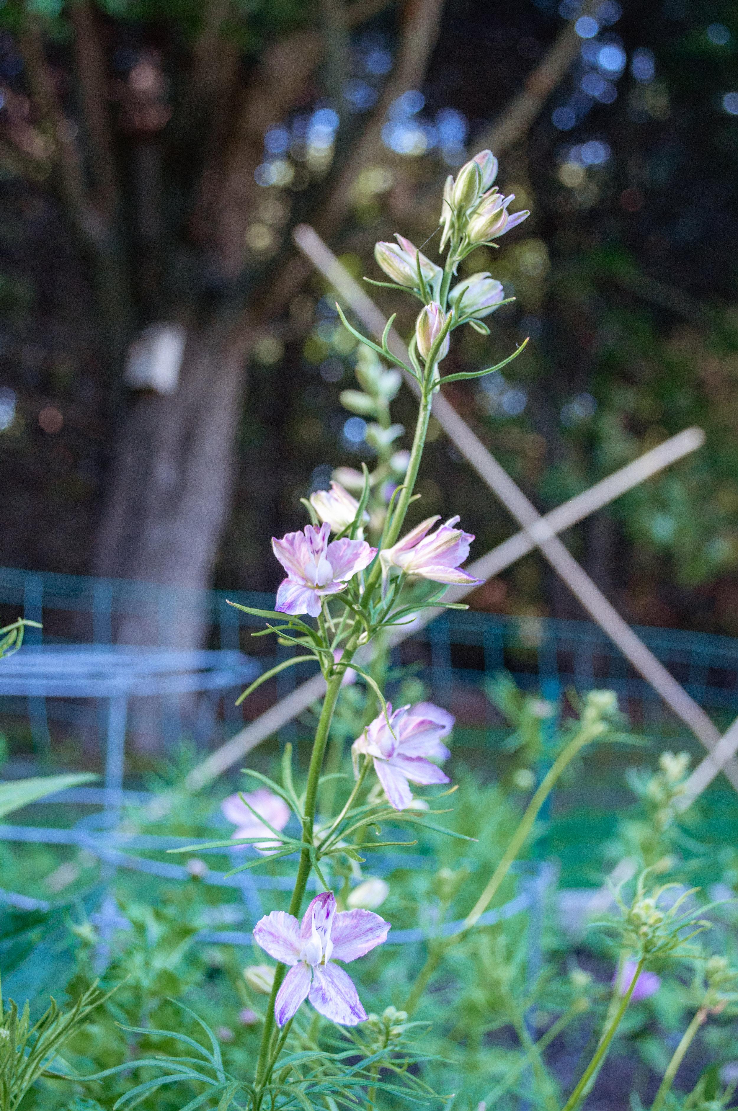 june15_garden2_larkspur-3.jpg