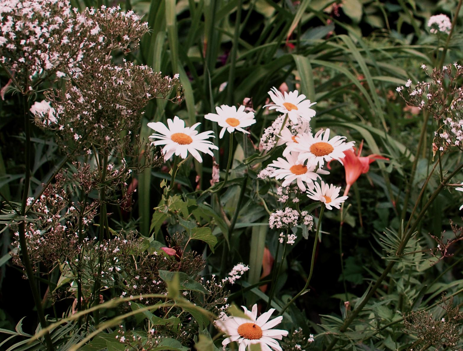 Daises in a community garden