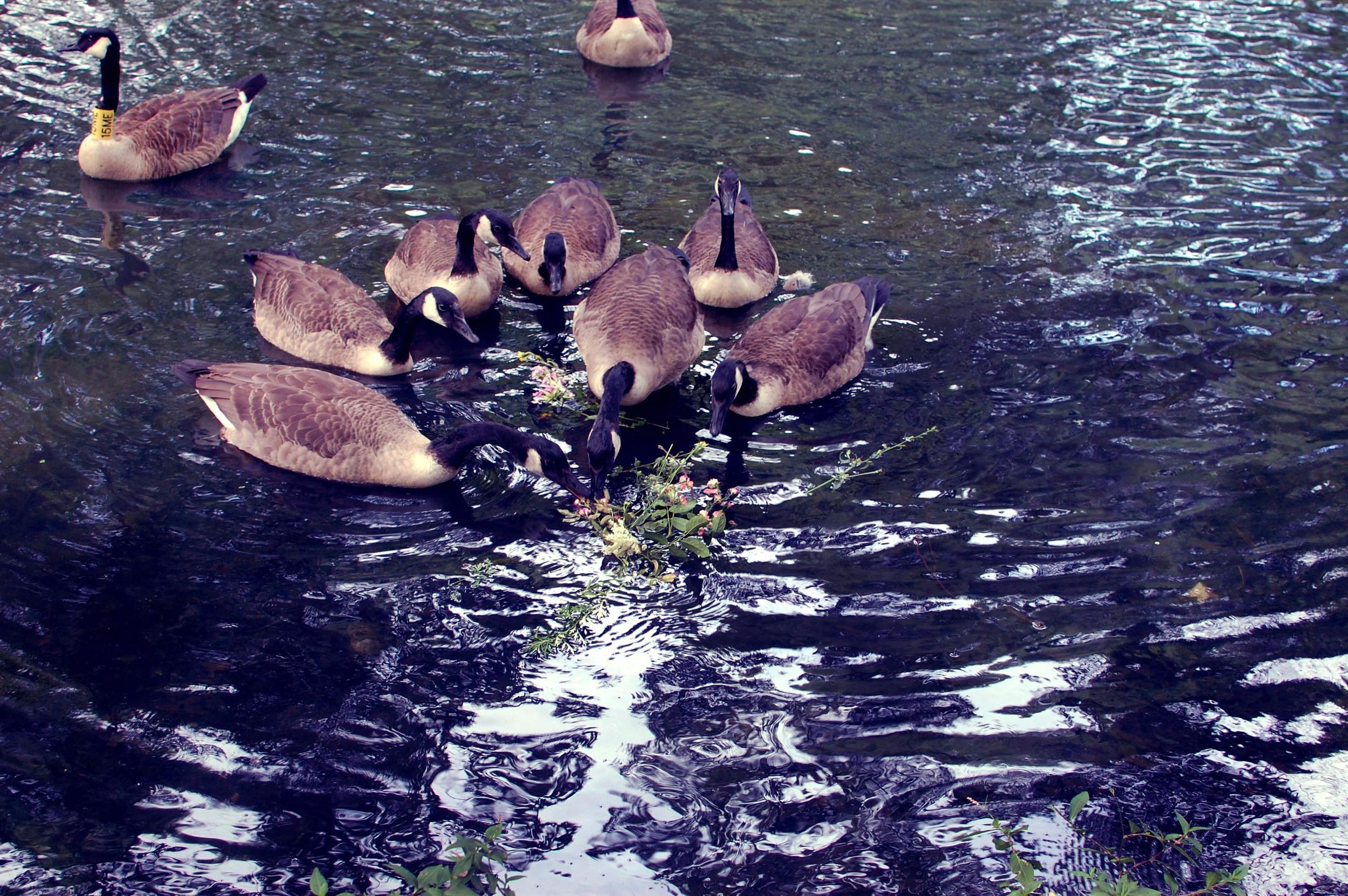 feeding geese.jpg
