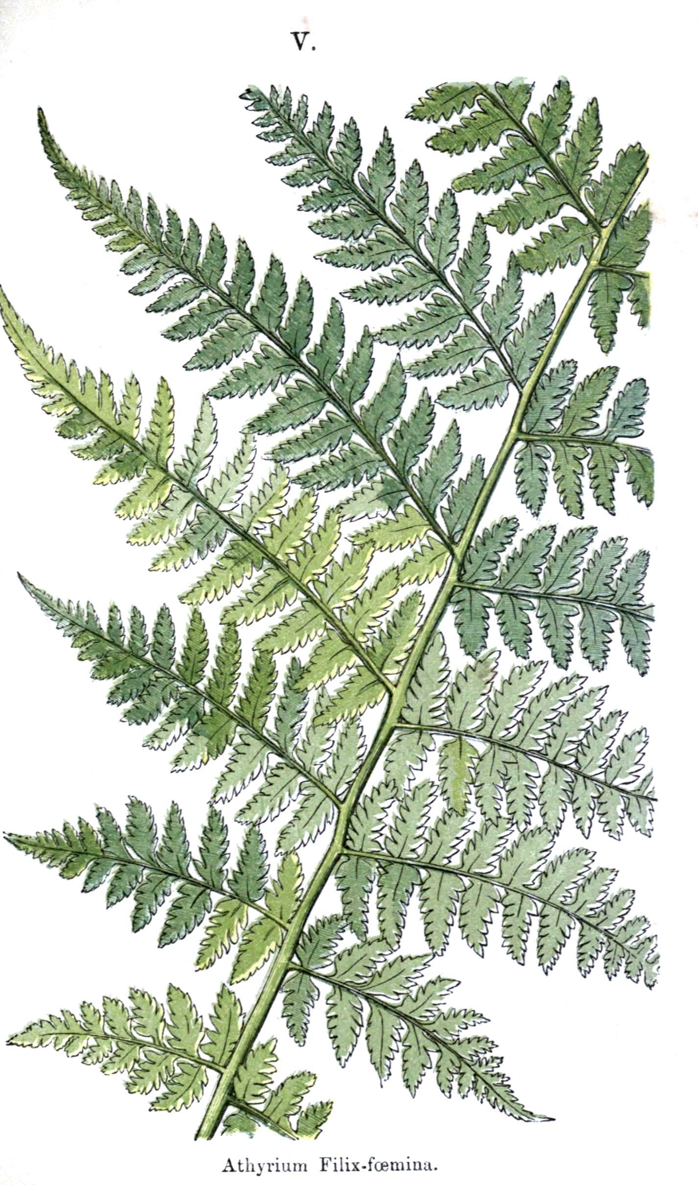 Botanical - Leaf - Fern, British Fern   (17).jpg