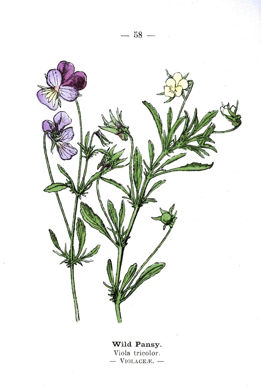 Botanical-Wild-pansies-Wayside-and-Woodland-1895-Plate58.jpeg