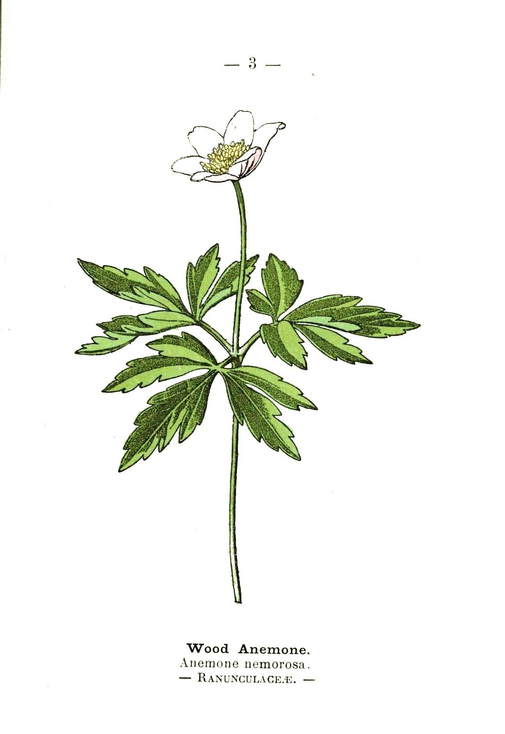 Botanical-Wood-anemone-Wayside-and-Woodland-1895-Plate3.jpeg