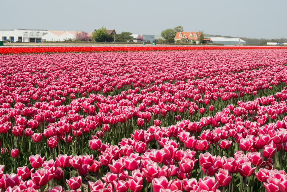 holland tulip fields_002.jpg