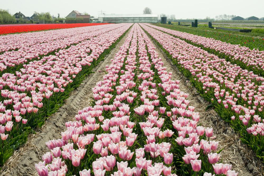 holland tulip fields_003.jpg