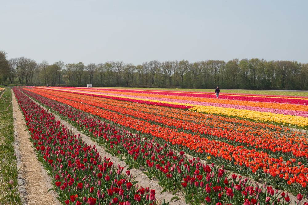 holland tulip fields_005.jpg
