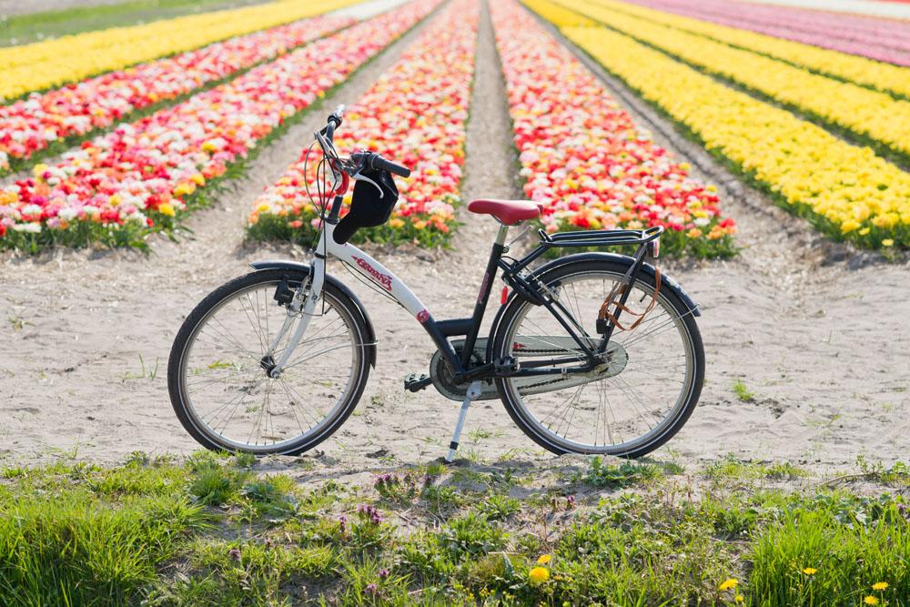 holland tulip fields_006.jpg