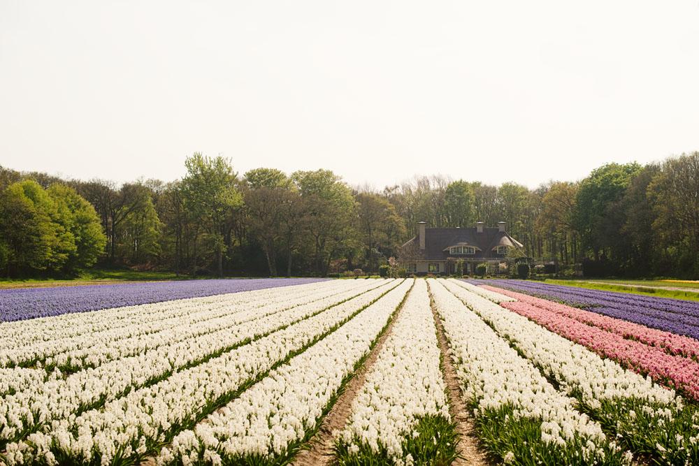 holland tulip fields_009.jpg