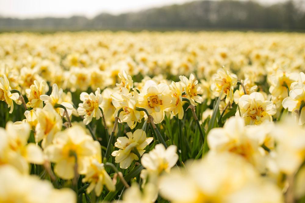 holland tulip fields_013.jpg
