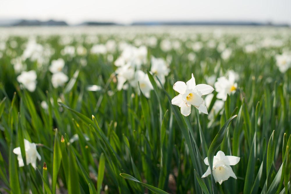 holland tulip fields_016.jpg