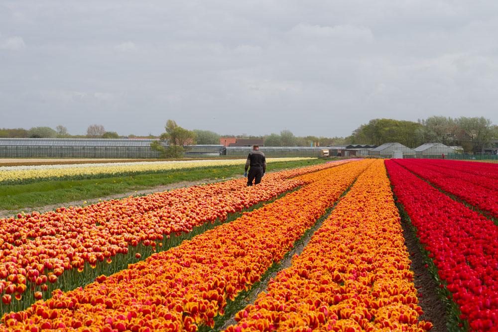 holland tulip fields_021.jpg