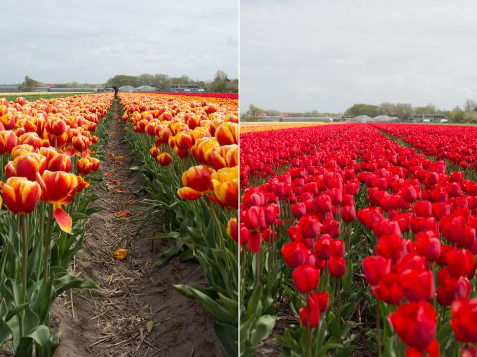holland tulip fields_023.jpg