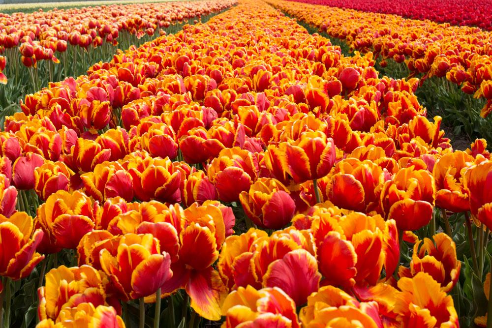 holland tulip fields_022.jpg