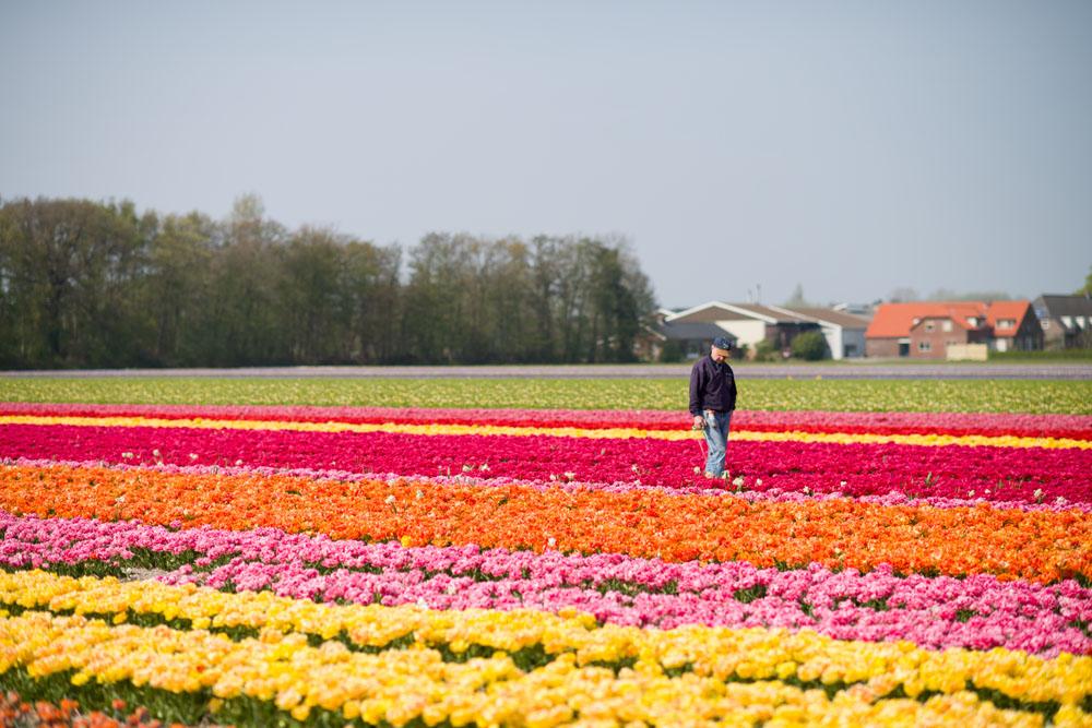 holland tulip fields_025.jpg