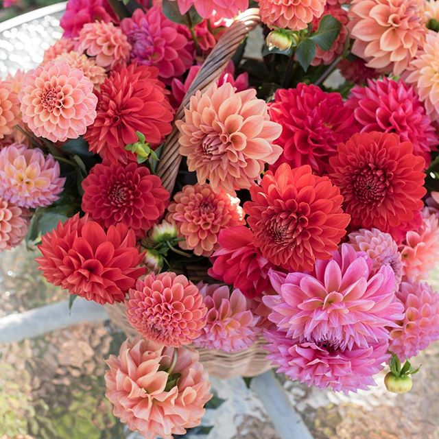 We ended dahlia season last week. Sad to see these babes go but are looking forward to next year. We are thinking about selling tubers this season once everything has been dug and divided. Let us know if you'd be interested.