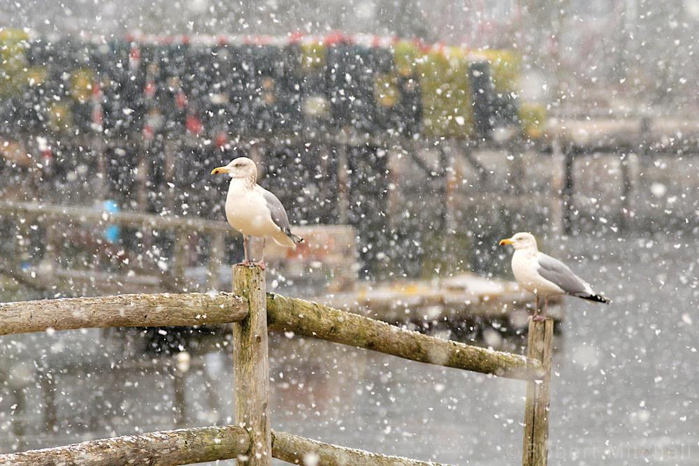 Snowy Gulls