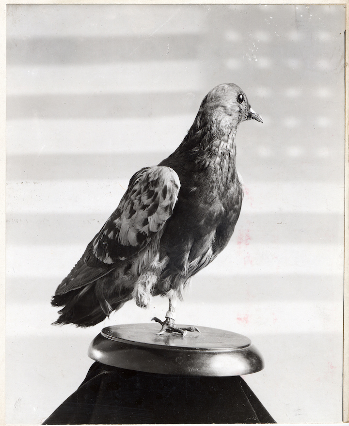 Cher Ami (Photo credit:  Smithsonian Institution )