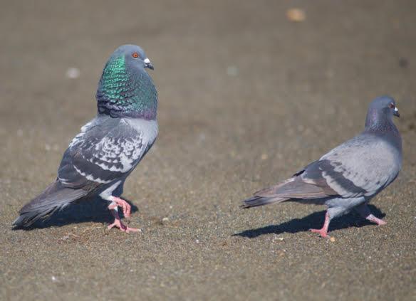 pigeons-2.jpg