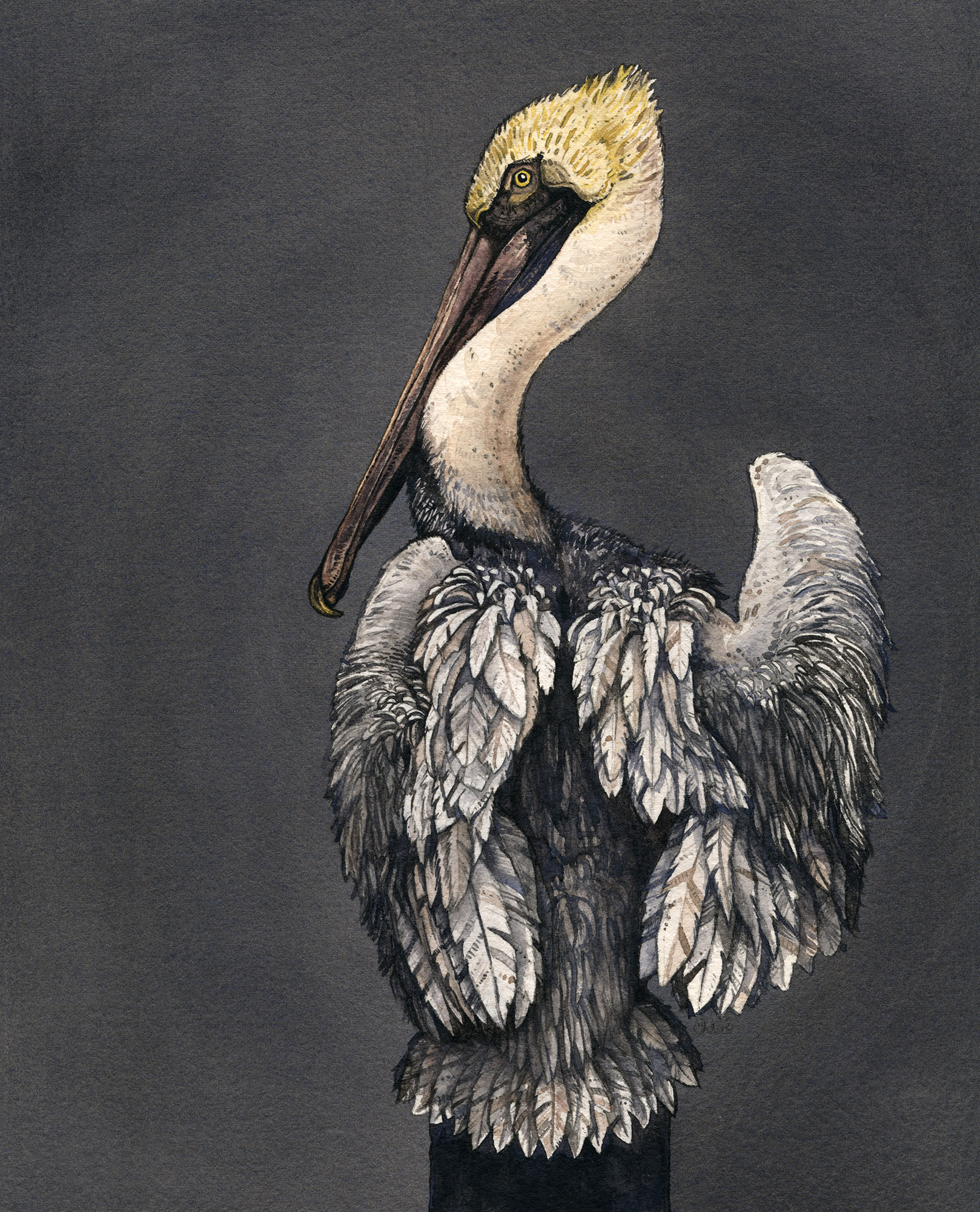 Brown Pelican | Private Commission