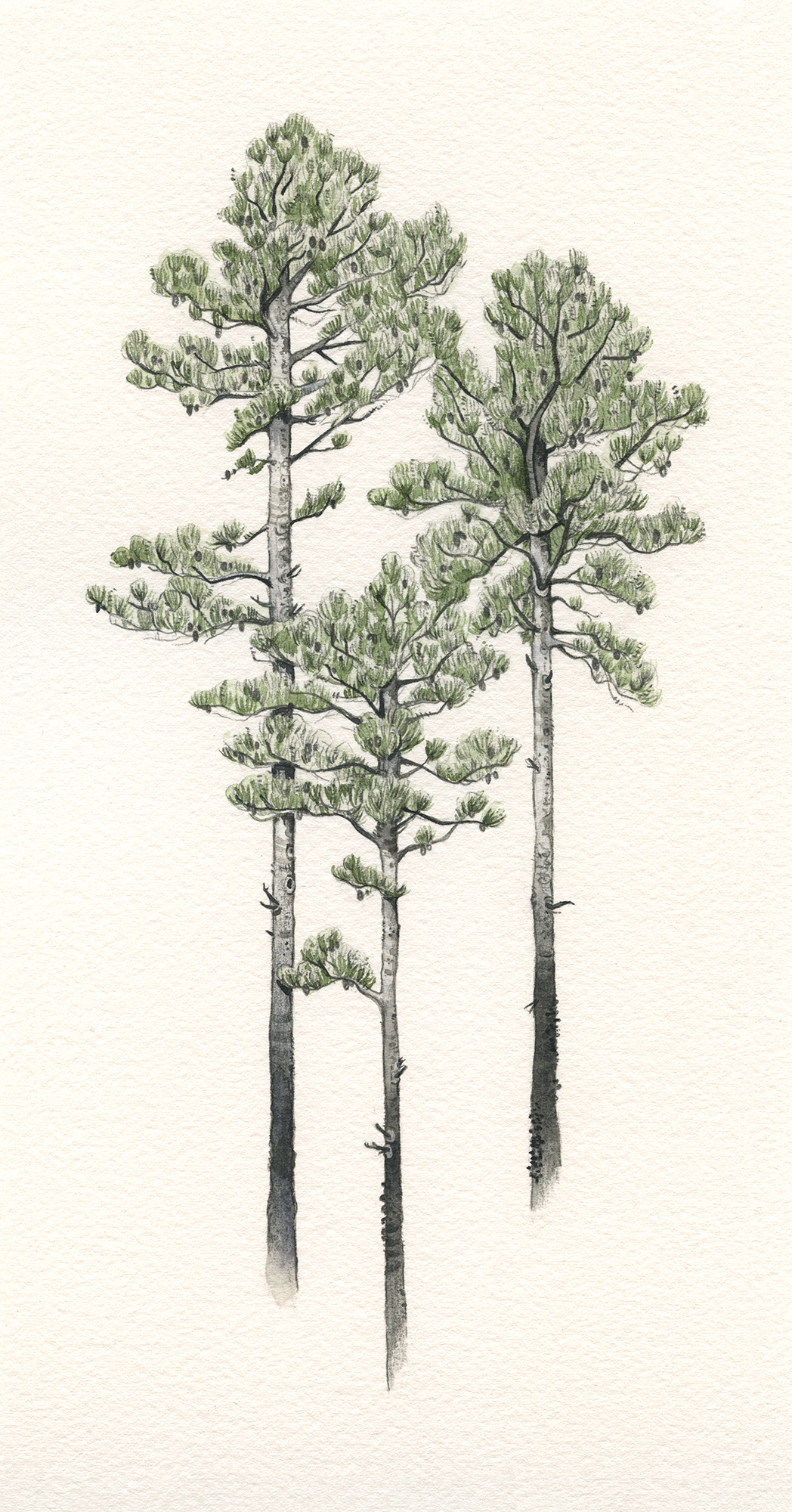 Loblolly Pine Trees | Private Commission