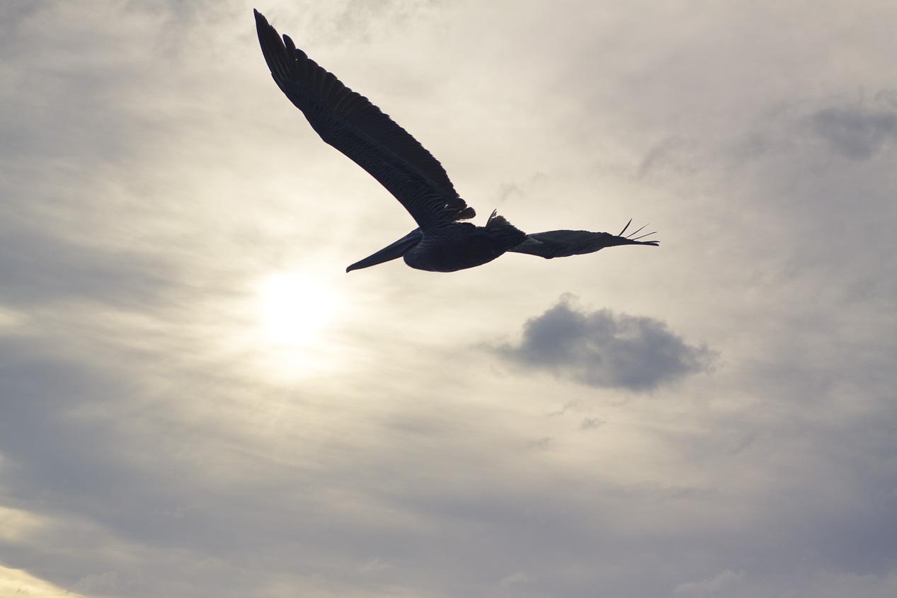Pelican's Surf.