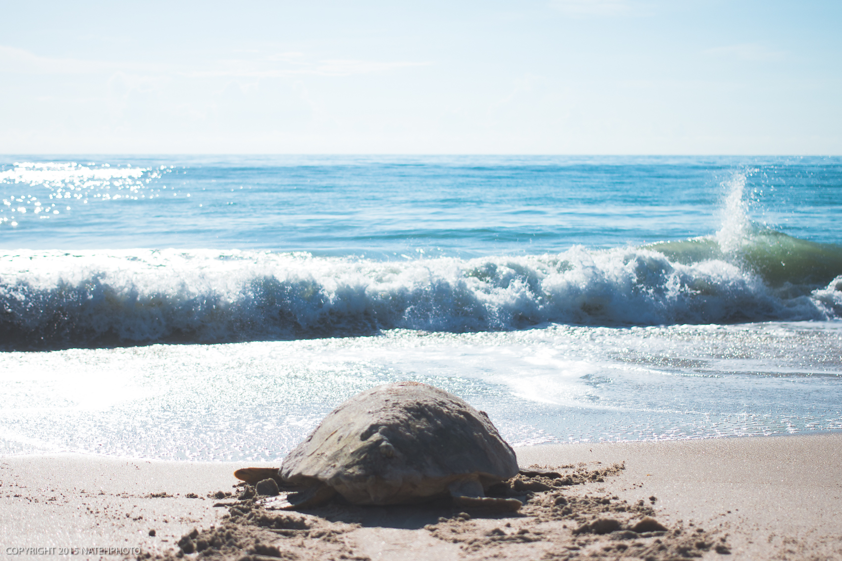 Sea Turtle in Vero Beach, Florida. Video by Nathaniel Harrington (@natehphoto)