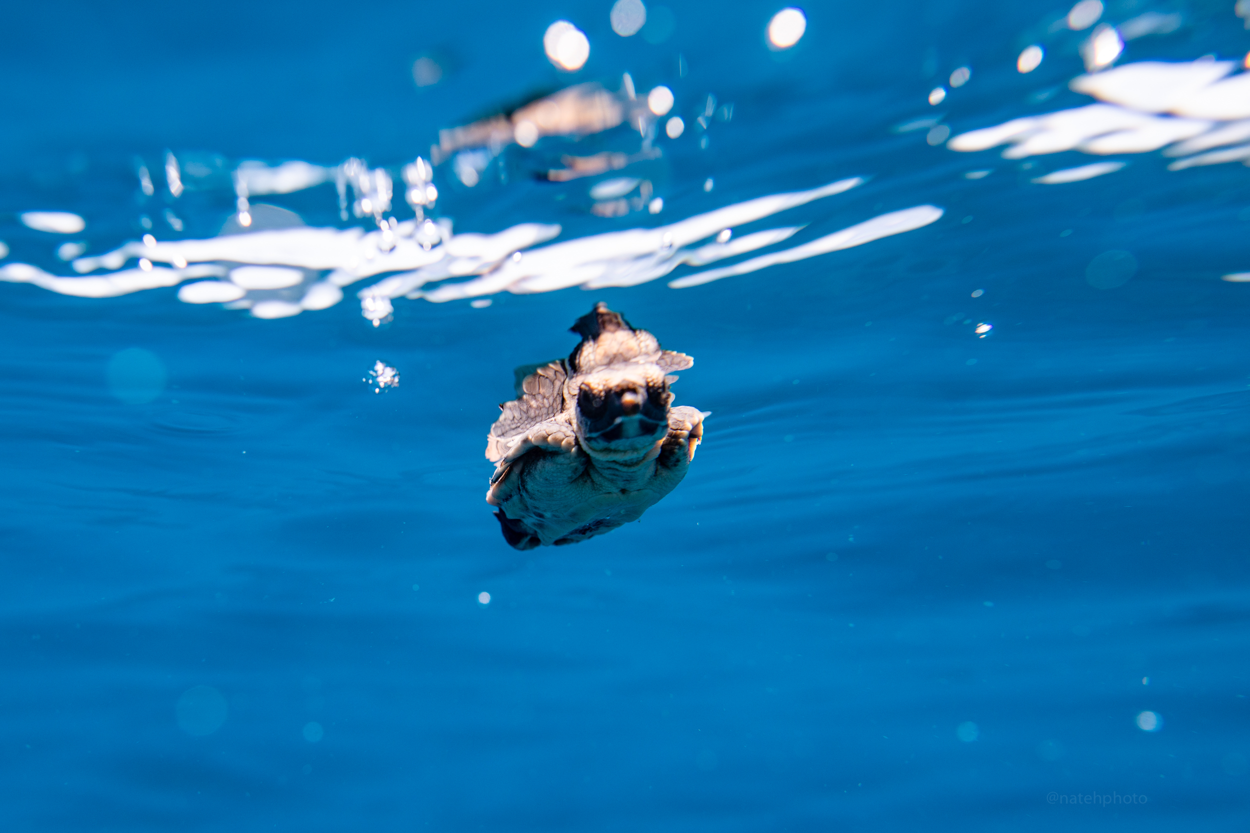 A baby sea turtle floated by in the current. This lil guy has come a long way and I continue to wish the best for it.