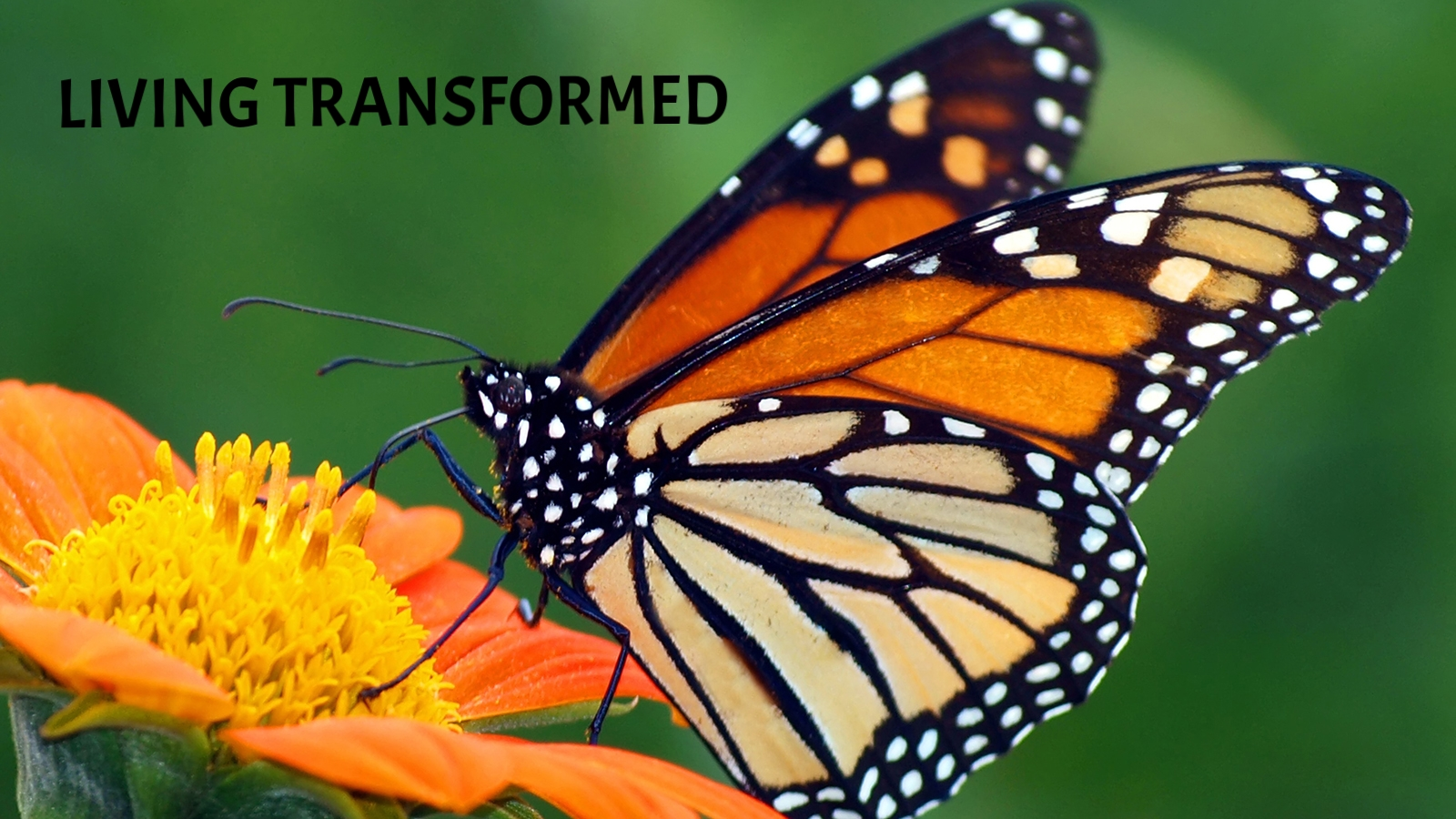 monarch-butterfly-orange-flower.jpg