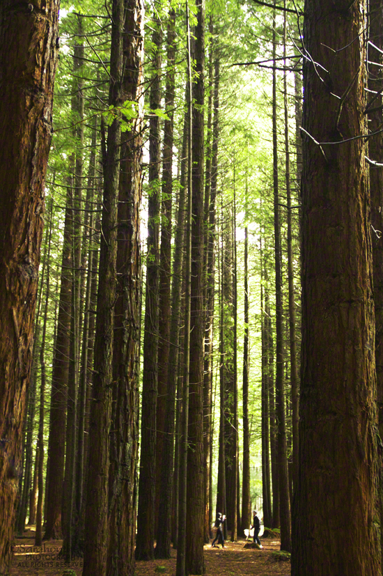 Tokorangi Forest, otherwise known as Whakarewarewa Redwood Forest, or simply, The Redwoods.