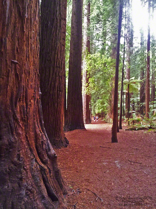 If not for the occasional exerciser, I would be enjoying this cathedral of redwoods in utter solitude.