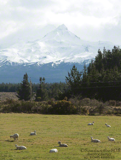 Here's the shot I was waiting for. A flock of resting sheep with Ruapehu as the ultimate backdrop.