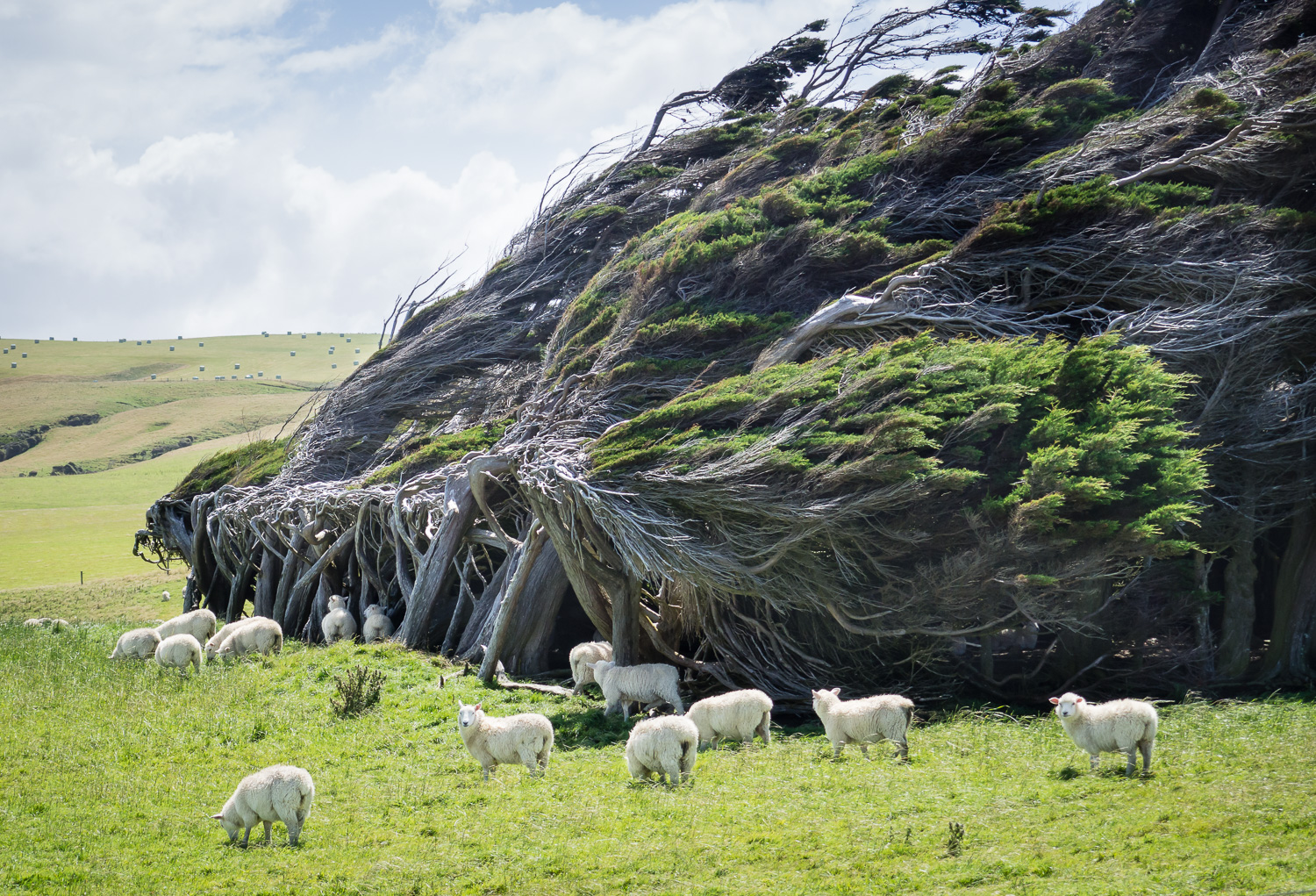 Wind sculpted and barely surviving, but providing shelter for the sheep - the macrocarpa trees (Monterey cyprus) at Slope Point in the Catlins, in the south of the South Island.
