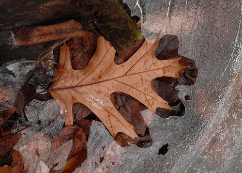 black oak leaf.jpg