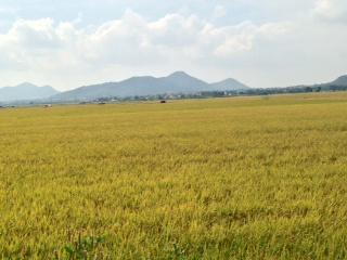 Rice fields in Vietnam ready for harvest