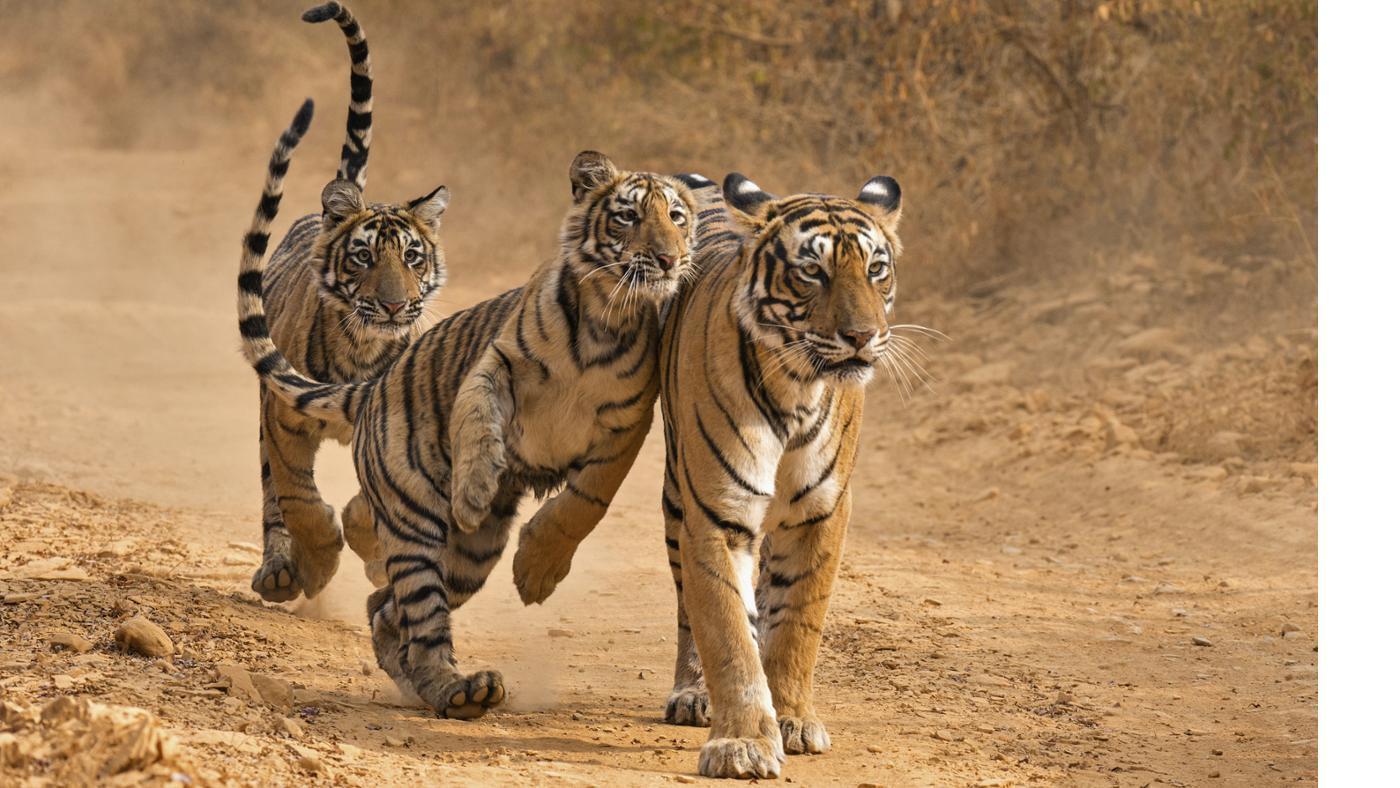 tigerss.png