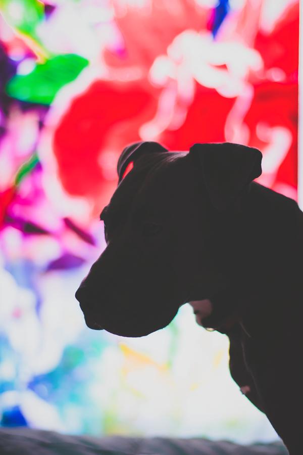 Pit Bull puppy Hugo Boss Emily Wilson Photography pet photography
