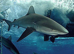 galapagos_shark.jpg